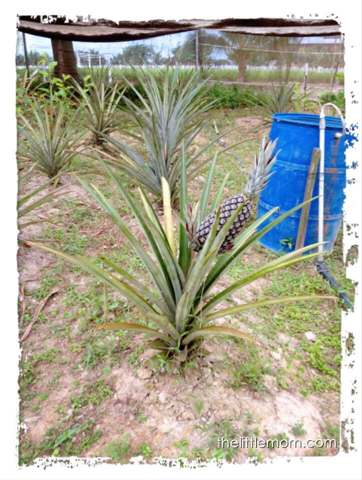One of the few pineapple we spotted in the little plantation.