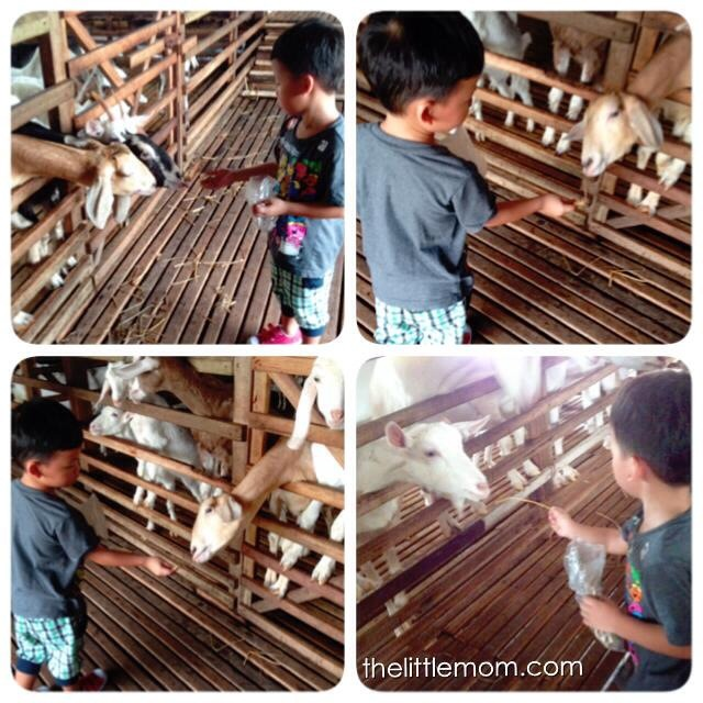 The boy feeding the goat. His favourite activity for the tour.