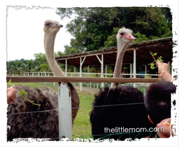 2 of the 3 Ostriches in the Ostrich Park