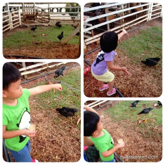 There is a small barricade between the chickens and the kids. So Loi who is afraid of animals can safely feed them.